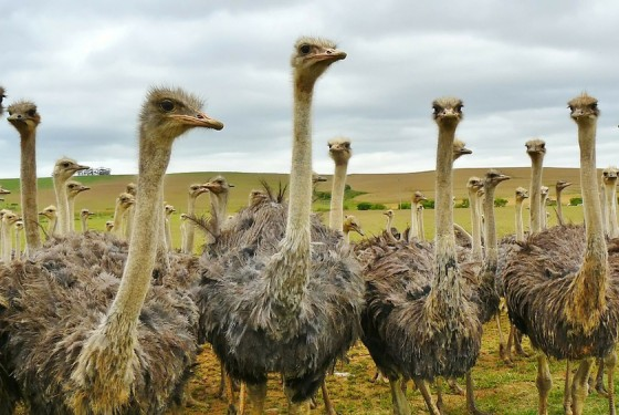 Several ostriches on the Cape Point Ostrich Farm