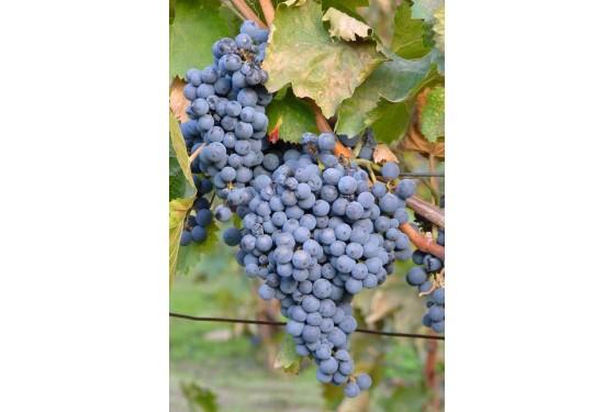 Grape vine in Stellenbosch in South Africa