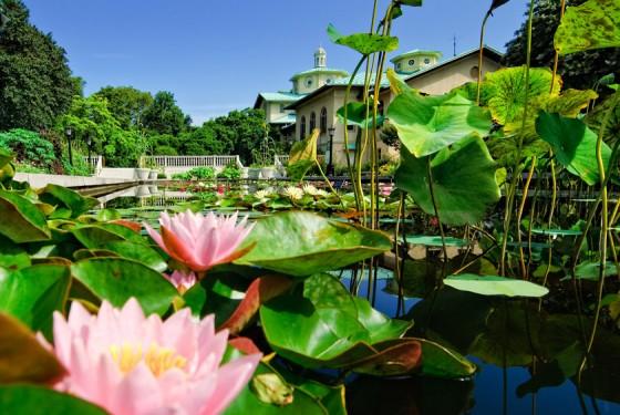 Brooklyn Botanic Garden Water Lily