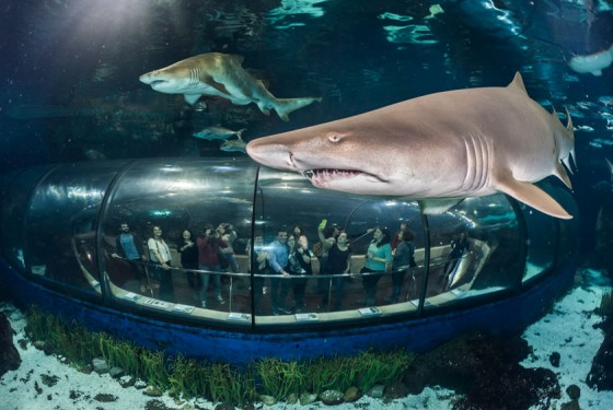 Sharks and the transparent tunnel in the aquarium de Barcelona