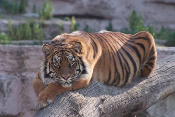 Tiger at the Zoo de Barcelona